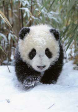 Panda cubs playing in snow - photo#27